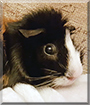 Myrtle the Guinea Pig