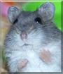 Sapphire the Djungarian Dwarf Hamster