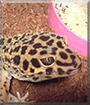 Nimbus the Leopard Gecko