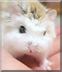 Snowball the Roborovski Hamster