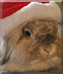 Stevie the Lionhead Rabbit cross