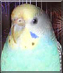Breezy the Parakeet