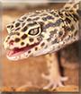 Rukia the Leopard Gecko