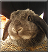 Lucy the Lop Rabbit