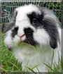 Merlin the Dwarf Lop mix Rabbit