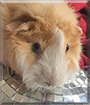 Puck the Abyssinian Guinea Pig