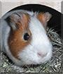 Poldi the Guinea Pig