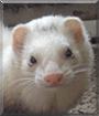 Biscuit the Ferret