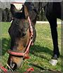 Jolly the Arabian/Pinto Horse