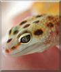 Cersei the Emerine Jungle Leopard Gecko