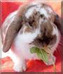 Bambie the Lop Rabbit