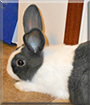 Cassanova the Dutch Rabbit