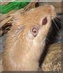 Sandy the Gerbil