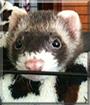 Izzy the Ferret