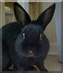 Chester the Rabbit