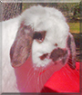 Jake the Holland Lop Rabbit