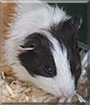 Marie the Guinea Pig