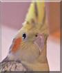 Fritzi the Cockatiel
