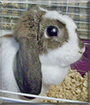 Sweet Pea the Mini Lop Rabbit
