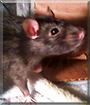 Maow the Fancy Rat