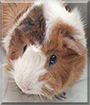 Pepper the Abyssinian Guinea Pig