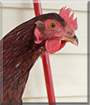 Copper the Rhode Island Red Chicken