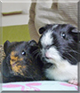 Martha and Piglet the Guinea Pigs