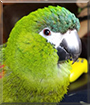 Hahnzel the Hahn's Macaw