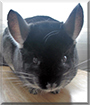 Ebony the Chinchilla