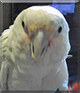 Schotzy the Goffin's Cockatoo