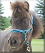Boots the Miniature Horse Pony