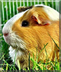Lilly the Guinea Pig