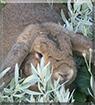Joda the Lop Rabbit