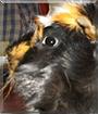 Toni the Guinea Pig