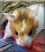 Lovina the Syrian Hamster