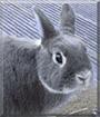 Emil the Netherland Dwarf Rabbit