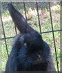 Dobby the Lop mix Rabbit