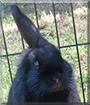 Dobby the Lop mix Rabbit