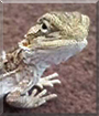 Chomper the Bearded Dragon