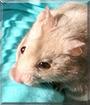Alvin the Syrian Hamster