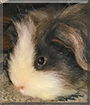 Archie the Long-haired Guinea Pig