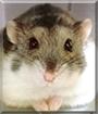 Jhon bon Jovi the Dzungarian Hamster
