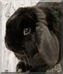 Licorice the German Lop Rabbit
