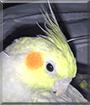 Cooper the Pearl Cockatiel