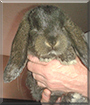 Sole the Mini Lop Rabbit
