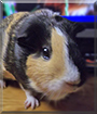 Jacki the American Satin Guinea Pig