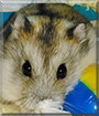 Bibble the Campbell's Dwarf Hamster