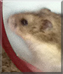 Chestnut the Dwarf Hamster