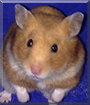 Pep the Syrian Hamster