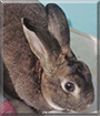 Angel the Mini Rex Rabbit
